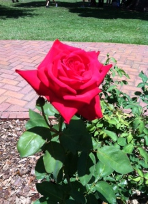 awesome roses 5-17-14