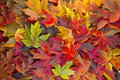 Maple leaves Fall
