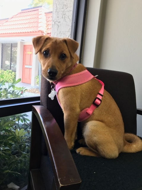 Daisy, Therapy Dog in Training